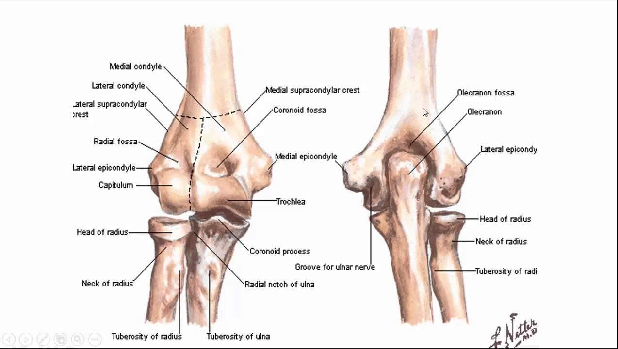 skelet deel 6 schoudergordel en bovenste extremiteit - YouTube