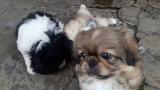 Чистокровные собаки, Пекинес