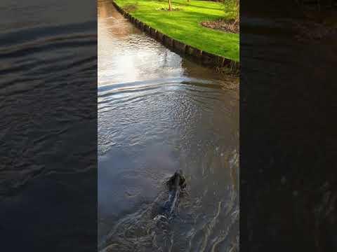 Water spaniel