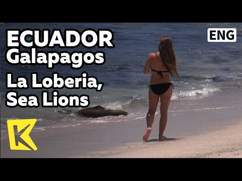 【K】Ecuador Travel-Galapagos[에콰도르 여행-갈라파고스]라로베리아 해변/La Loberia, Sea Lions/San Cristobal Island/Beach
