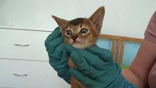 Абиссинские котики, подготовка к прививке 14.04.18г.