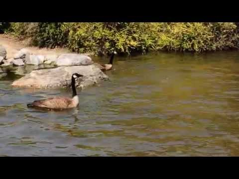 Territorial Geese