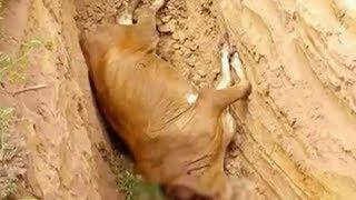 ชาวสุรินทร์ผวากินรกวัวแรกเกิด ต่อมาแม่วัวติดเชื้อพิษสุนัขบ้าตาย ปรี่ฉีดวัคซีนป้องกัน