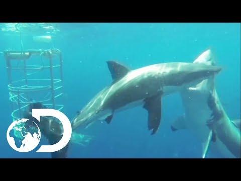 Shark POV Camera Shows Great White Intimidation Strategy | Sharks And The City: LA | SHARK WEEK 2018