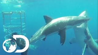 Shark POV Camera Shows Great White Intimidation Strategy | Sharks And The City: LA | SHARK WEEK 2018