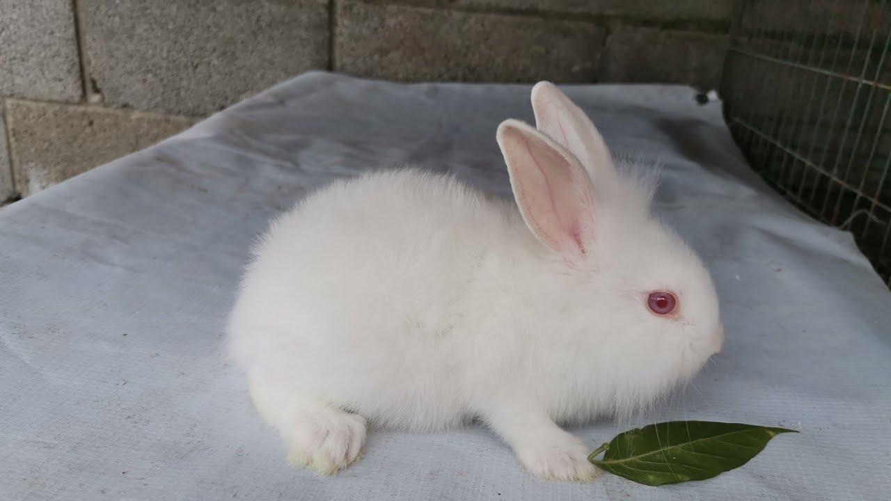 conejos blancos de ojos rojos