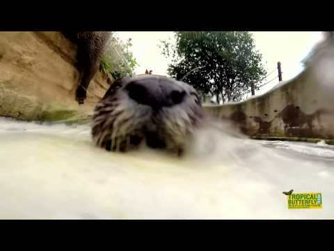 Otter Springs at the Tropical Butterfly House Sheffield (HD)