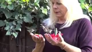 Hummingbirds Feed out of Woman's Hands