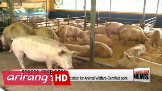 Korean 'animal welfare farm' provides pigs with creature comforts