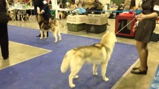 Выставка собак Евразия-2 2015 хаски кобели чемпионы