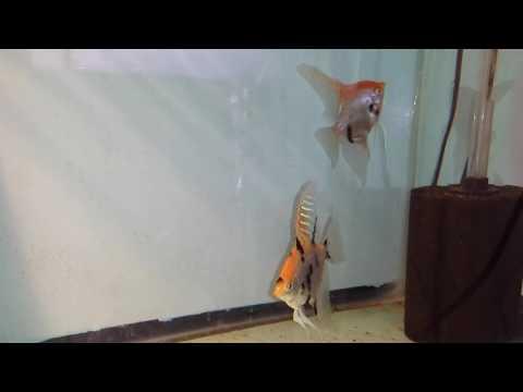 Gold Marble Ghost Parent Raising Angelfish