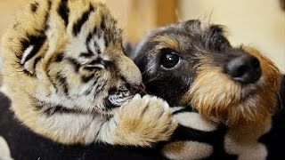 Funny Unlikely Animal Odd Couples Compilation thumbnail