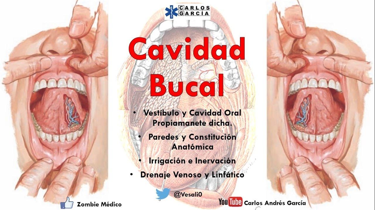 Anatomía - Cavidad Bucal (Paredes, Contenido, Irrigación, Inervación ...