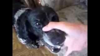 1#Видео:Собачий битбокс.