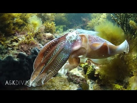 Video Of The Week | SCUBA Diving A&K HD | Whyalla Cuttlefish JUNE 2015