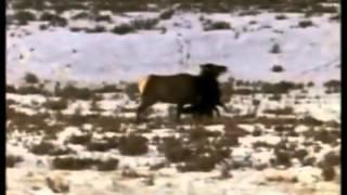 Royksopp - Alpha Male (wolves video-clip)