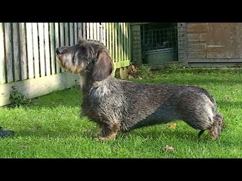 Dog Breed Video: Dachshund