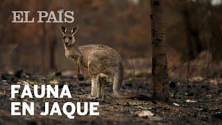 Los animales de Australia, en jaque por los incendios