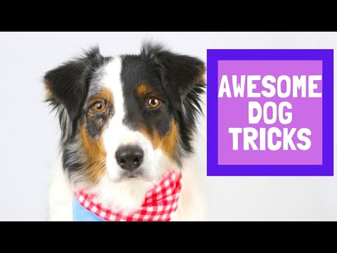Awesome Dog Tricks by Terra the Amazing Aussie