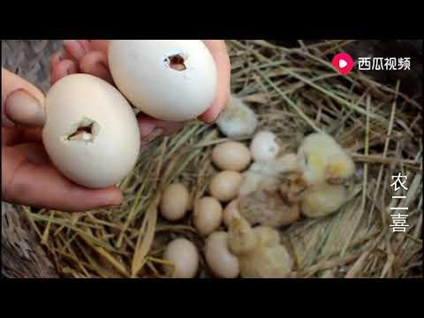 农村刚孵出来的小鸡原来是这样子,太可爱,心都快被它萌化了!