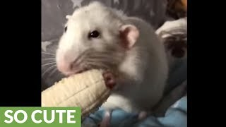 Pet rat chows down on banana