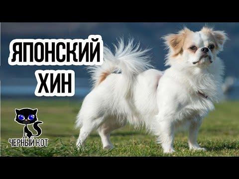 ✔ Японский хин: порода собак, знаменитая кошачьими повадками