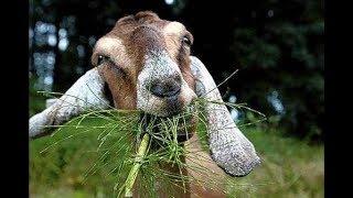 Нубийские козы и просто козы.