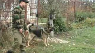 Уход от удара с атакой немецкая овчарка Бонд.Dmitry Fatin