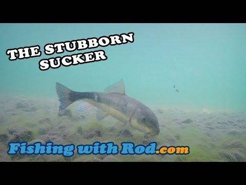 The Stubborn Sucker | Fishing With Rod