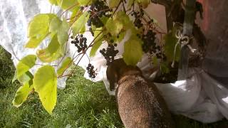 Mini Dachshund Mimi Wine Harvesting