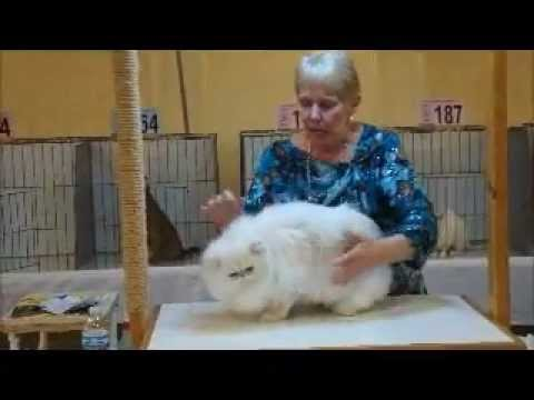 Chinchilla Silver Persian at the St Louis Show