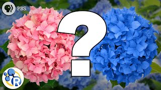 Hydrangeas and the Science of Do-Overs