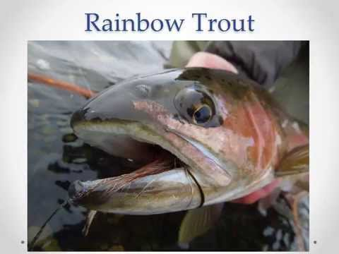 Fly Fishing Guide To The Bighorn River