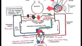 Pulmonary Vascular Physiology Pressure and Hypertension