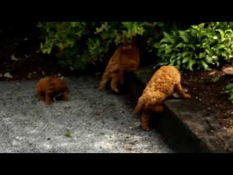 Cavapoo Puppies For Sale Daniel Stoltzfus