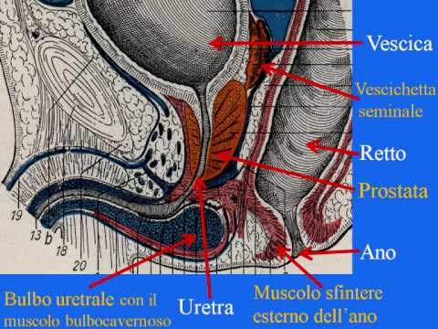 esercizi kegel uomo erezione pdf 2