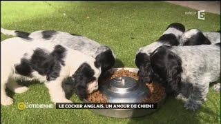 Le Cocker Anglais, un amour de chien !