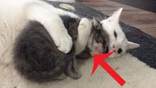 Cat Hugs All The Orphaned Kittens His Mom Brings Home