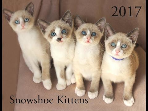 Cute Snowshoe Kitten 2017 Calendar