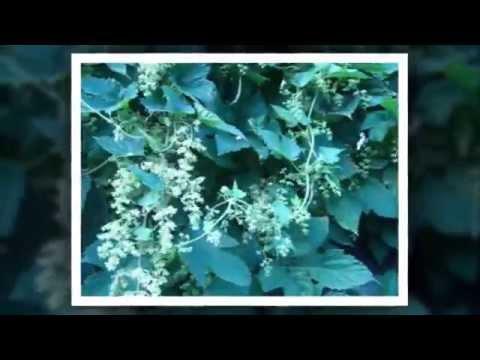 Хмель обыкновенный - лечебные свойства, применение и