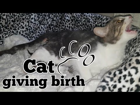 cat-giving-birth.-the-3-stages-of-cat-birth.-asmr-style.
