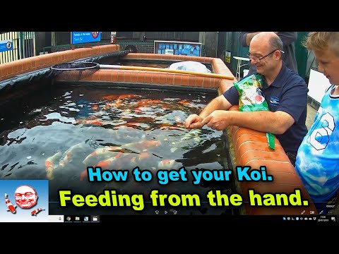 How To Tame Your Fish And Hand Feed.