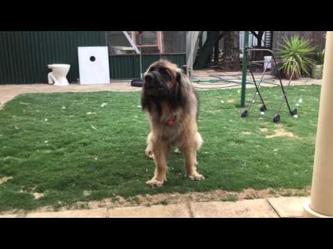 Leonbergers howling after playing