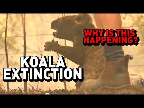 KOALA EXTINCTION: Why It's Happening