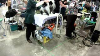 Gopr0889 Bronx County Kennel Club In Nj 3-27-2011 Pug Escape