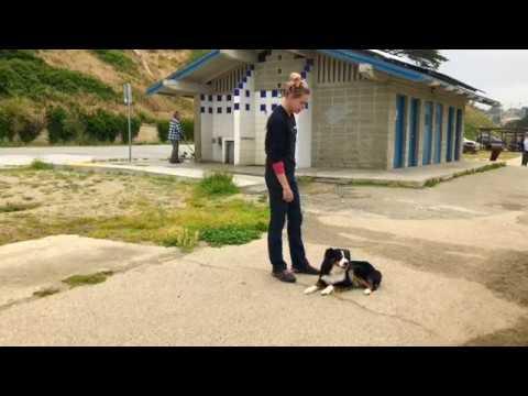 1.5 Year Old Mini Aussie | Harlem | Dog Training in Monterey, CA