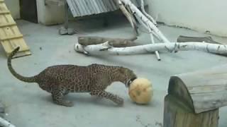 Пензенский зоопарк: показательная трапеза цейлонского леопарда