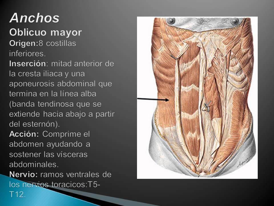 Contemporáneo Diagrama De Los Músculos Del Estómago Foto - Imágenes ...