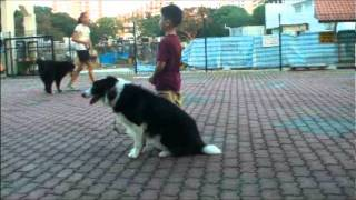 Singapore's Youngest Dog Trainer - Waggieis Dog Training Video Singapore