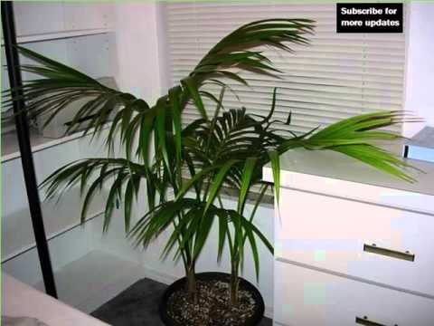 Kentia Palm Indoor | House - Home Of Indoor & Office Plants Picture ...
